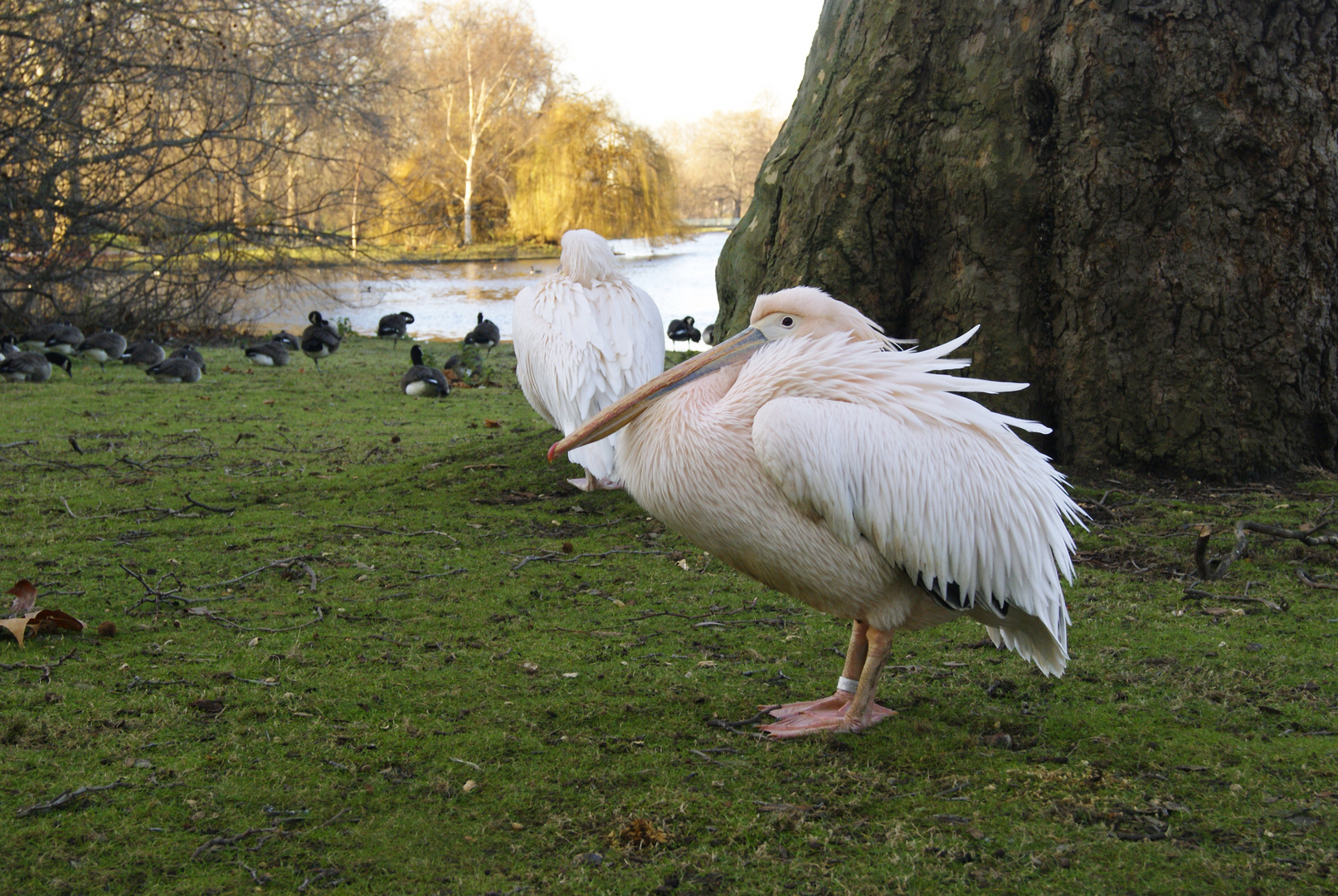 Pélican à Saint James Park, Londres