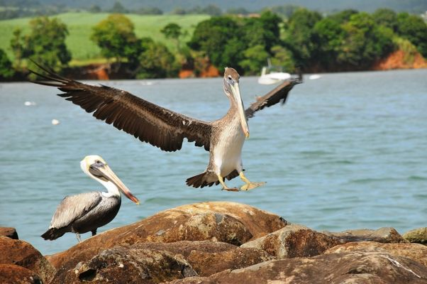 pelican atterrissage