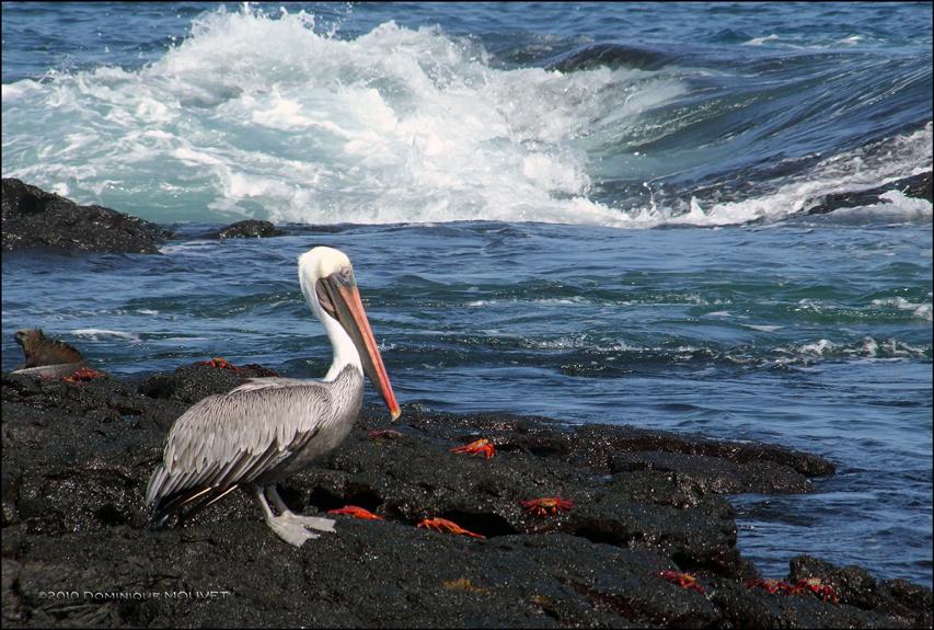Pélican et Crabes sur l'Ile de Santiago....Galapagos