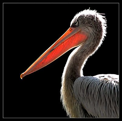 pelican in the sun