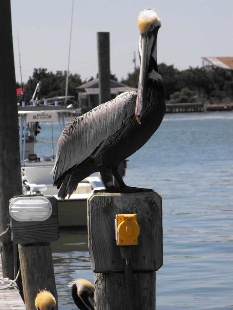 Pelican on Ocracoke Island
