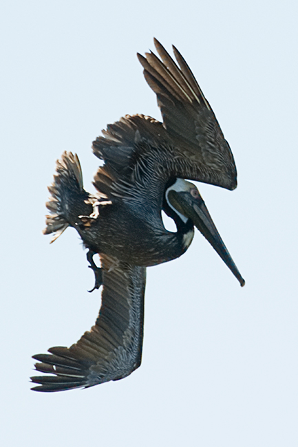 Pelican plongeur