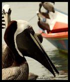 pelicano 21