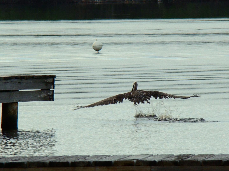 Pelícano elevándose al vuelo