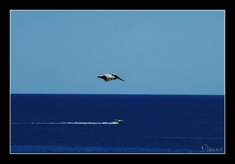 Pelicano (final de fotografia )