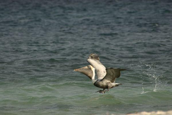 Pelicano mexicano