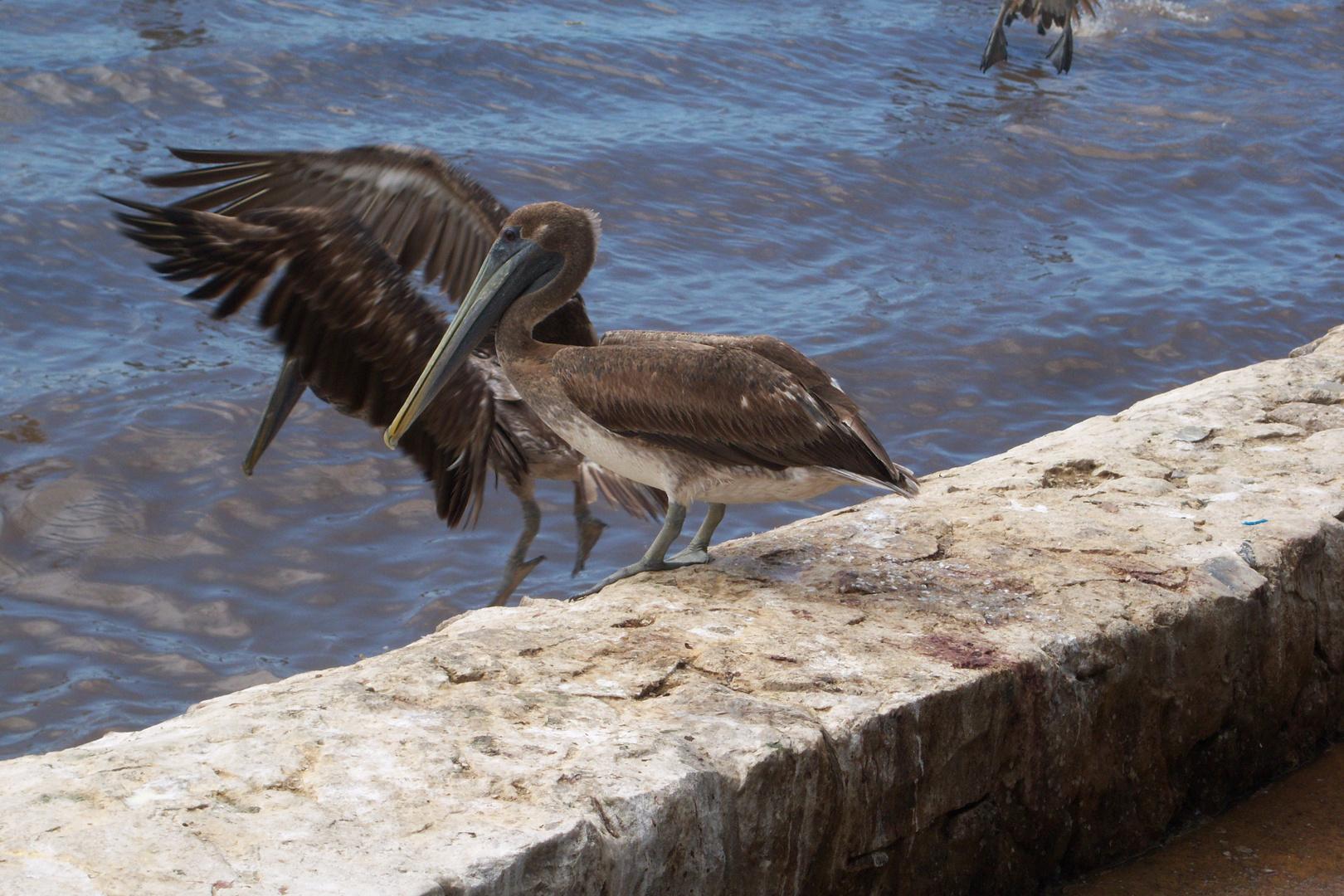 Pelicanos . Cumaná. Edo-Sucre . Venezuela