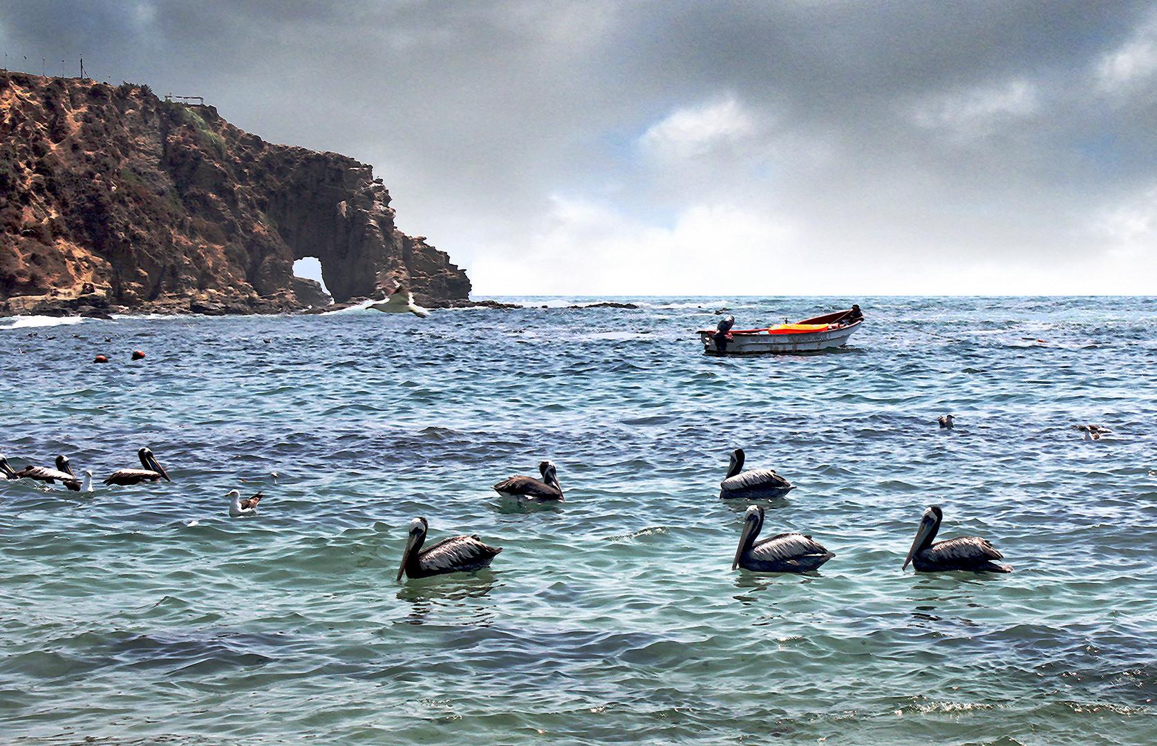 Pelícanos en Horcón