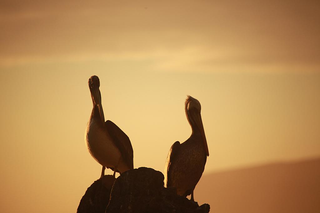 Pelicanos en Quintay