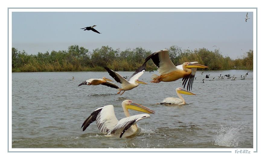 Pélicans au parc de Djoudj