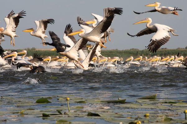 Pélicans dans le Delta du Danube