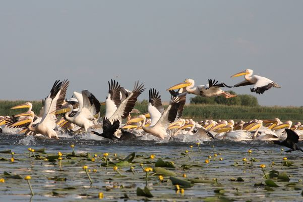 Pélicans dans le Delta du Danube Roumanie