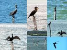 pélicans et cormorans (montage)
