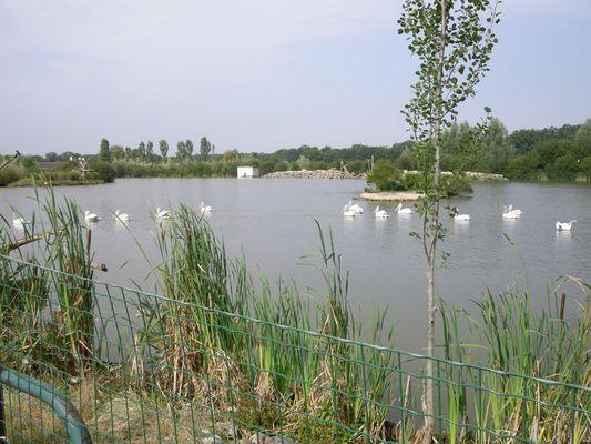 Pélicans nageant sur un étang
