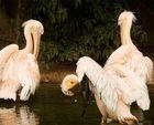 Pélicans - parc de la tête d'or
