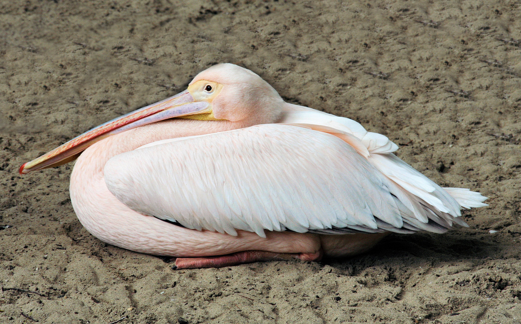 pelikaan heeft net zijn dutje uit