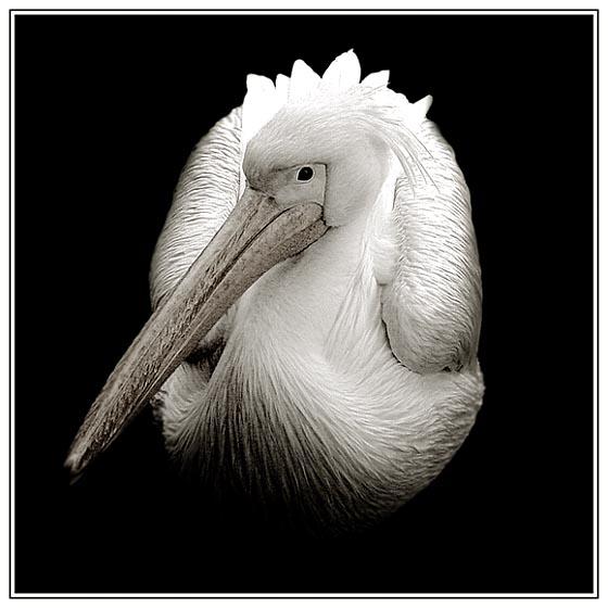 - Pelikan -