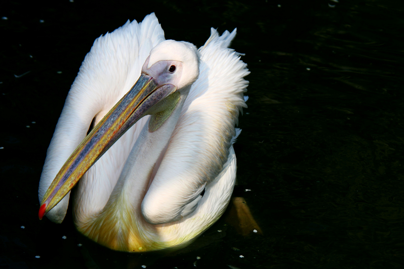 Pelikan...