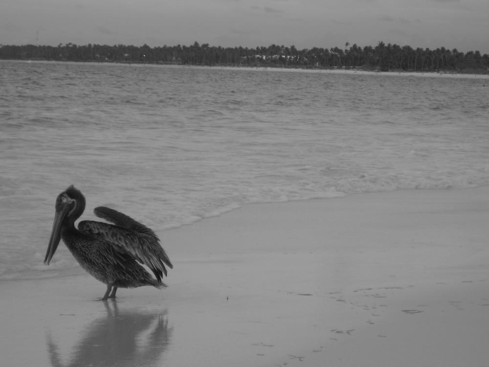 Pelikan allein am Strand (Karibik)