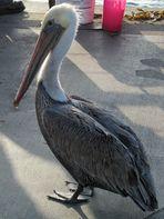 Pelikan am Redondo Beach, Los Angeles