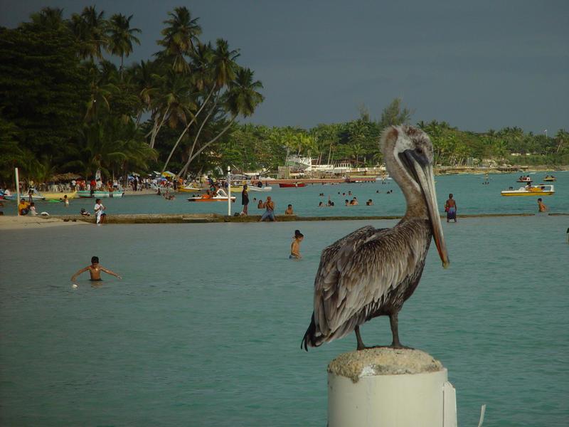 "Pelikan am Strand von ""Boca Chica""/ Dominikanische Republik"