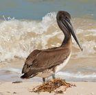 Pelikan am Strand von Yucatan