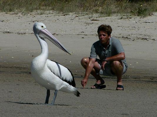 Pelikan - Annäherung