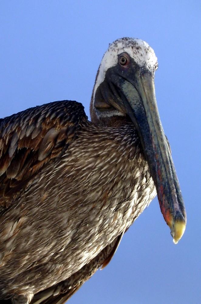Pelikan auf Galapagos