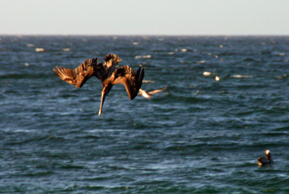Pelikan auf Jagd