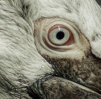 Pelikan-Auge