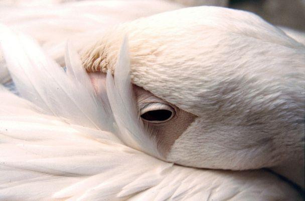 Pelikan aus der Nähe
