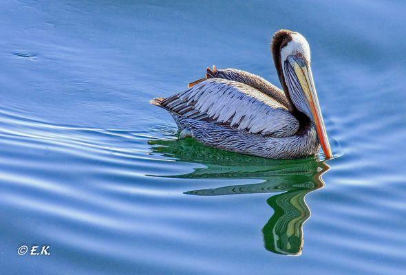 Pelikan bei der Futtersuche
