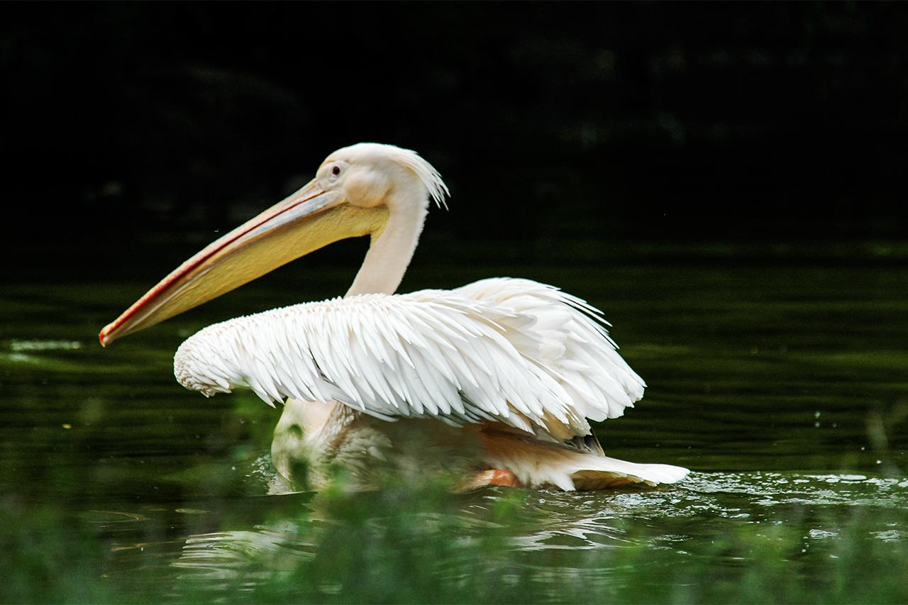 Pelikan bei der Landung