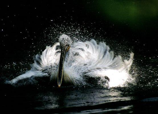 Pelikan beim Baden