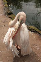 Pelikan beim Frühjahrsputz