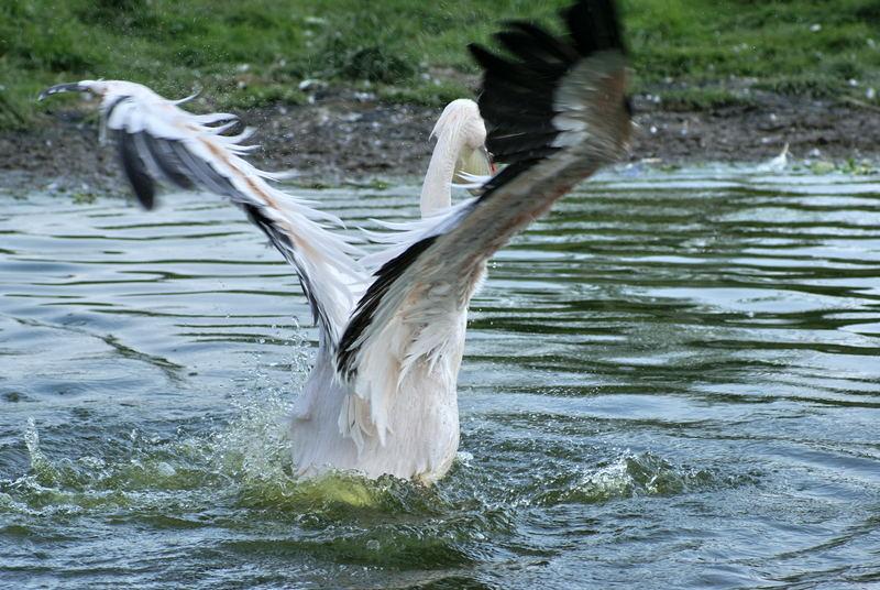Pelikan beim Startversuch