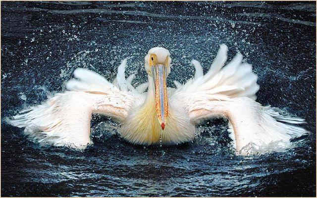Pelikan beim Wasserbad