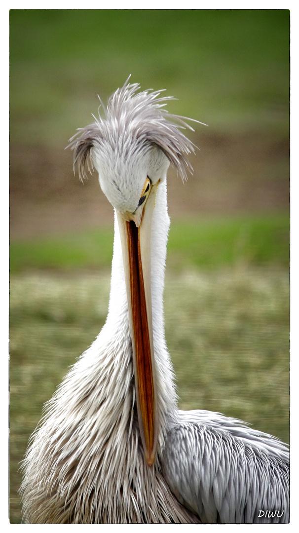 Pelikan - Bild 2