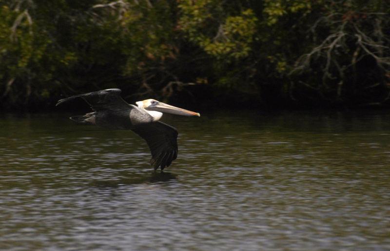Pelikan. Caloosahatchee River, Florida.
