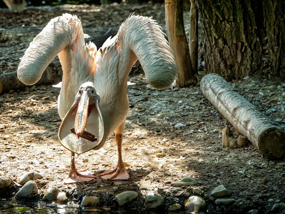 Pelikan..