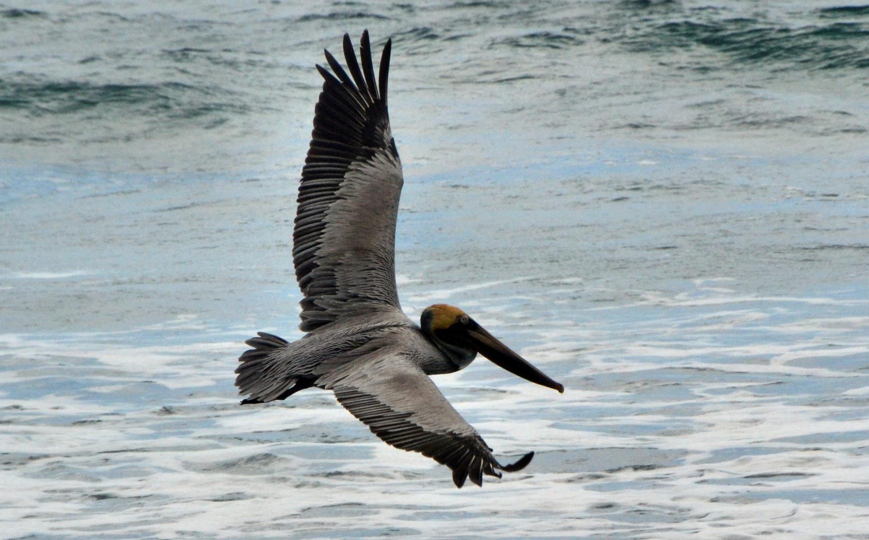 Pelikan Corcovado 2