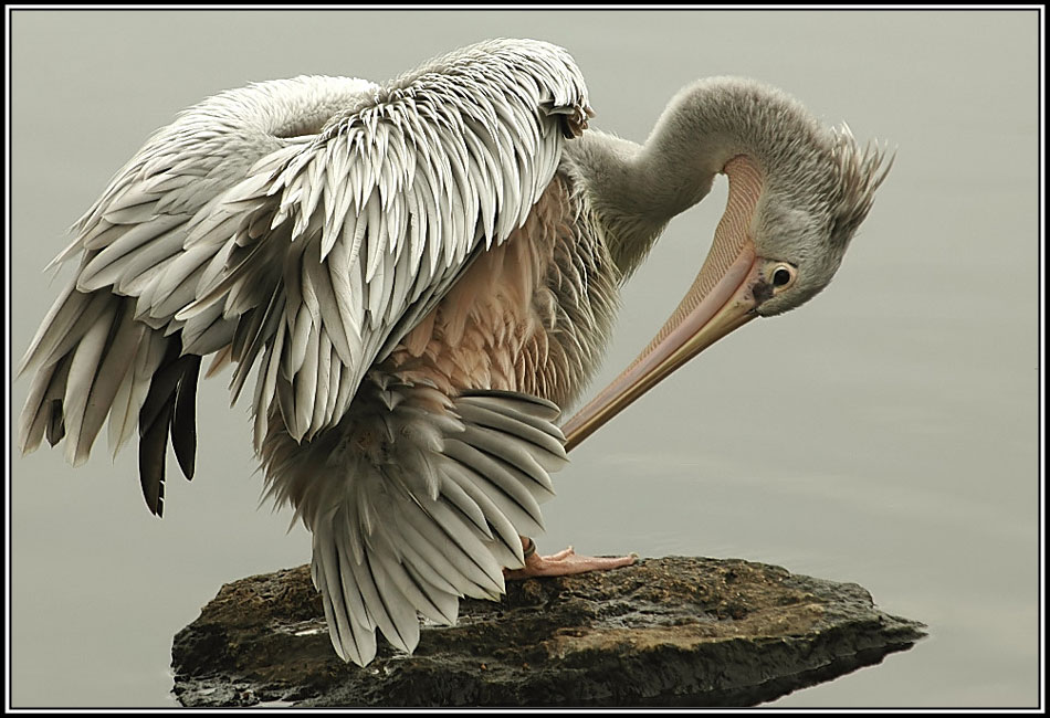 Pelikan.