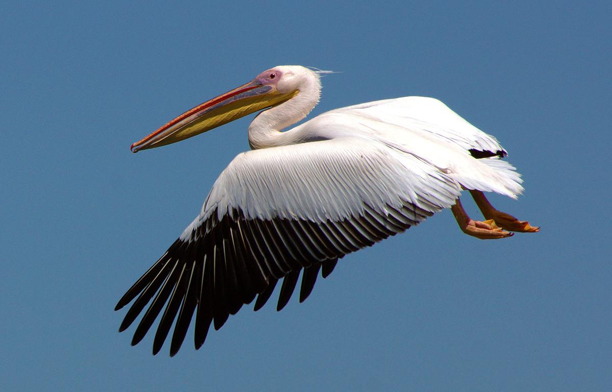Pelikan Donaudelta