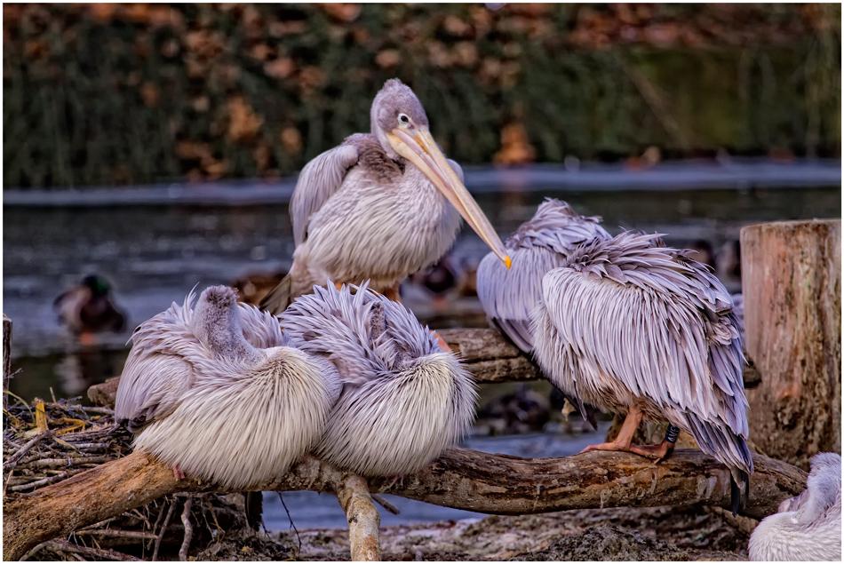 Pelikan Duisburger Zoo...