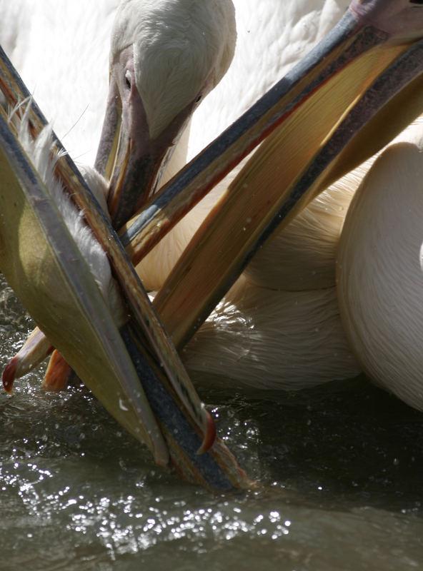 Pelikan Fight