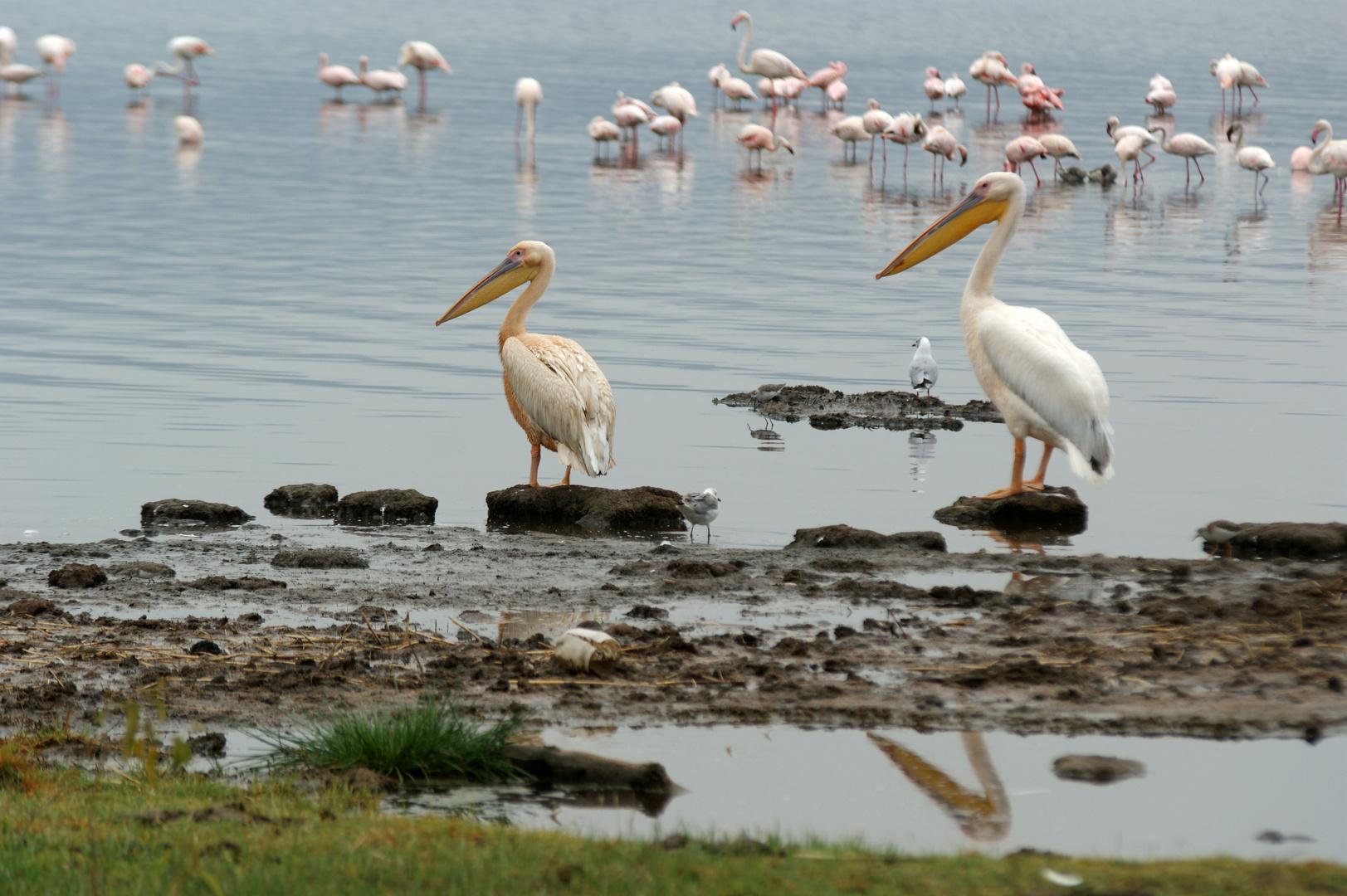 Pelikan Flamingos