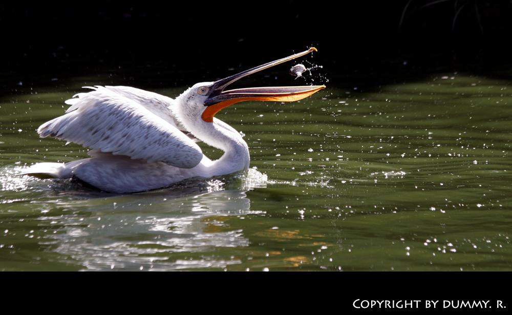 Pelikan frisst Fisch