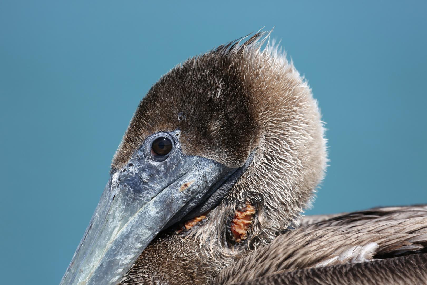 Pelikan ganz nah