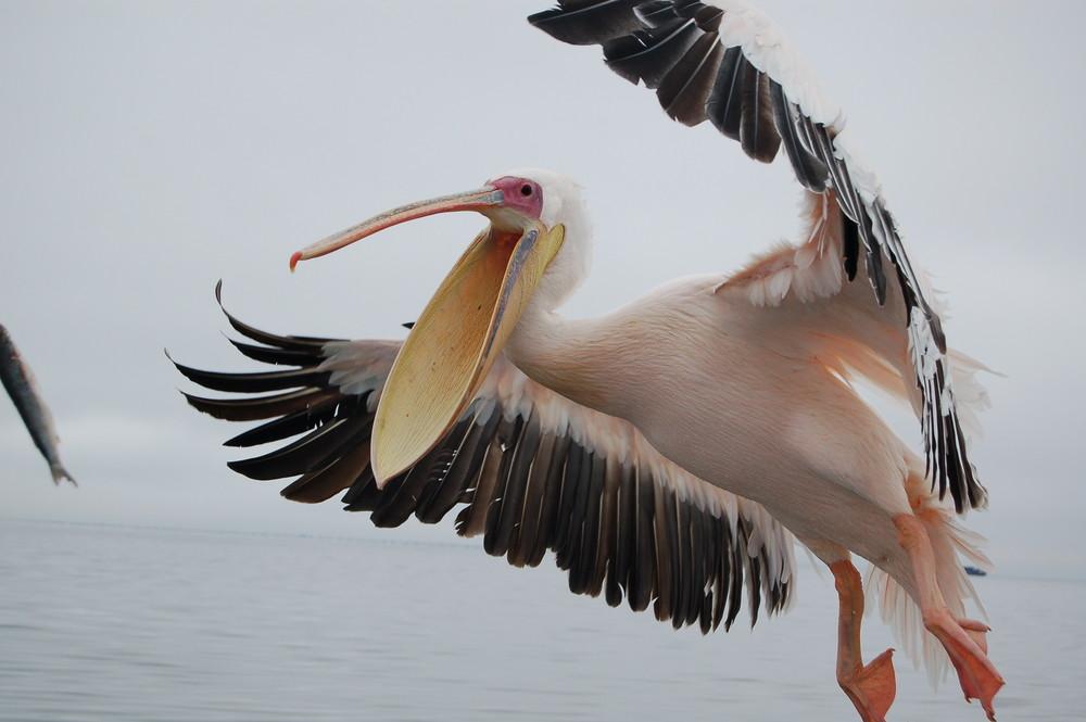 pelikan im anflug