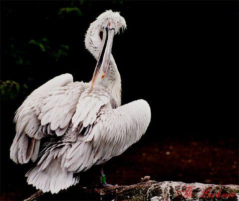 Pelikan im Augsburger Zoo